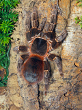 Brazilian Fire Red  One of the Biggest Tarantula Giants  Brazil  South America