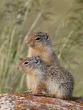 Young Columbian Ground Squirrel (Citellus Columbianus)  Waterton Lakes Nat'l Park  Alberta  Canada