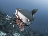 Caribbean Reef Shark (Carcharhinus Perezii) Eating Lionfish (Pterois Volitans)  Roatan  Honduras