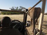Desert Elephant (Loxodonta Africana)  Huab River Valley  Torra Conservancy  Damaraland  Namibia