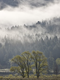 Evergreen Trees with Cottonwoods  Yellowstone Nat'l Park  UNESCO World Heritage Site  Wyoming  USA