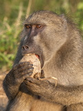 Chacma Baboon (Papio Cynocephalus Ursinus) and Sausage Tree (Kigelia Africana)  Kruger Nat&#39;l Park