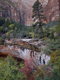 Evergreens  Red Maples  and Red Rock on the Emerald Pools Trail  Zion National Park  Utah  USA