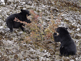 Black Bear (Ursus Americanus) Cubs Eating Canadian Gooseberries  Jasper Nat'l Park  Alberta  Canada