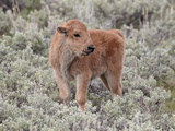 Bison (Bison Bison) Calf  Yellowstone National Park  Wyoming  USA  North America