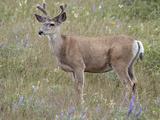 Mule Deer (Odocoileus Hemionus) Buck in the Summer  Waterton Lakes National Park  Alberta  Canada