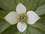 Dwarf Dogwood (Bunchberry Dogwood) (Cornus Canadensis)  Glacier National Park  Montana  USA