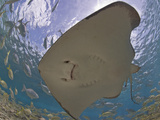Stingray (Dasyatis Thetidis) from Below with the Sun Behind  Cozumel  Mexico  Caribbean