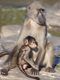 Chacma Baboon (Papio Cynocephalus Ursinus)  with Baby  Kruger National Park  South Africa  Africa