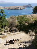 Two Donkeys in the St Paul Bay  Lindos  Rhodes  Dodecanese  Greek Islands  Greece  Europe