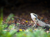 Australian Eastern Water Dragon (Physignathus Lesueurii)  Brisbane Botanical Gardens  Australia