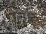 Evergreens on Cliff with Fresh Snow  Jasper Nat'l Park  UNESCO World Heritage Site  Alberta  Canada