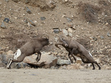 Two Bighorn Sheep (Ovis Canadensis) Rams Butting Heads  Clear Creek County  Colorado  USA