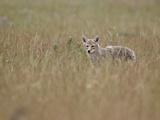 Coyote (Canis Latrans)  Waterton Lakes National Park  Alberta  Canada  North America