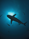 Caribbean Reef Shark (Carcharhinus Perezii) Swimming with Sun Seen from Below  Roatan  Honduras