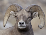 Bighorn Sheep (Ovis Canadensis) Ram Durng the Rut  Clear Creek County  Colorado  USA  North America