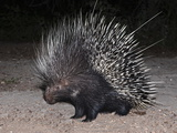 Porcupine (Hystrix Africaeaustralis)  Limpopo  South Africa  Africa