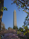 The Washington Monument Framed by Japanese Cherry Trees in Bloom  Washington DC  USA