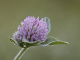 Red Clover (Trifolium Pratense)  Waterton Lakes National Park  Alberta  Canada  North America
