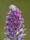 Showy Locoweed (Whorled Locoweed) (Oxytropis Splendens)  Waterton Lakes Nat'l Park  Alberta  Canada