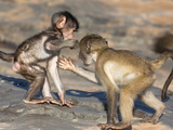 Baby Chacma Baboons (Papio Cynocephalus Ursinus)  Playfighting  Kruger National Park  South Africa