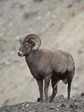 Bighorn Sheep (Ovis Canadensis) Ram with an Erection During Rut  Clear Creek County  Colorado  USA