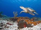Sea Turtle (Chelonioidea)  Cozumel  Mexico  Caribbean  North America