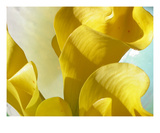 Wave of Calla Lilies