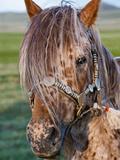Mongolian Ponies I