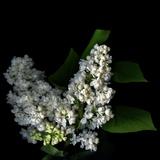 White Lilac 9