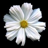 White Cosmos 3