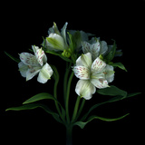 White Alstroemeria