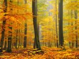 Orton Forêt Reproduction photo par Philippe Sainte-Laudy