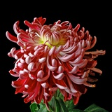 Pink Chrysanthemum 3