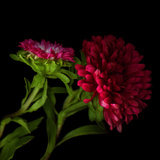 Red Aster I
