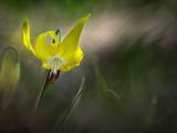 Lilies 2