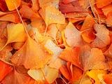 Ginkgo d'automne Papier Photo par Philippe Sainte-Laudy