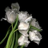 Frayed Tulips Papier Photo par Magda Indigo