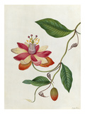 Moniers Passion Flower
