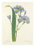 Iris frangée: Iris fimbriata