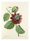 Passiflore ailée: Passiflora alata