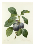 Prune Royale: Prunus Domestica