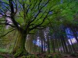 Ponthus Beech Tree 1