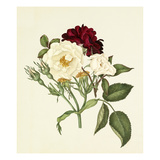 Rosa moschata  Rosa gallica Tuscany