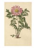 Chrysanthemum roseum