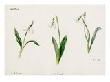 Galanthus byzantinus