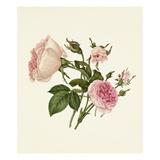 Rosa damascena Bella Donna  Rosa Mignon