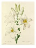 Le Lys blanc: Lilium candidum