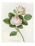 Blush Provence rose