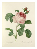 Rosa centifolia: Rosier à cent feuilles